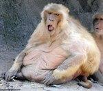 fat-monkey
