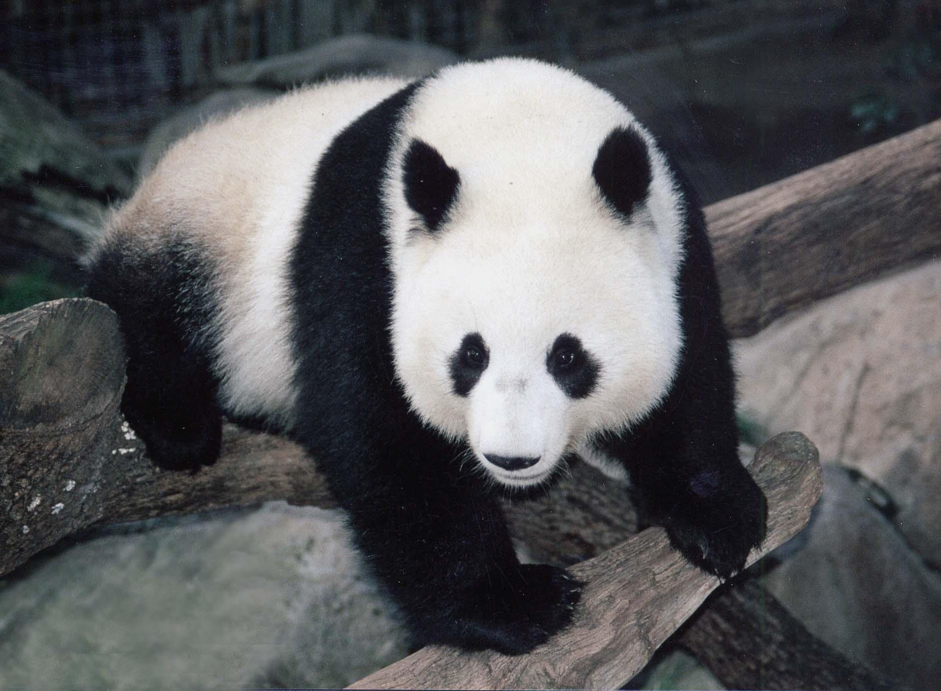 Panda resimleri lazım.